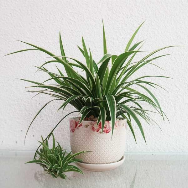 Cây lọc không khí trong nhà, cây lan chi